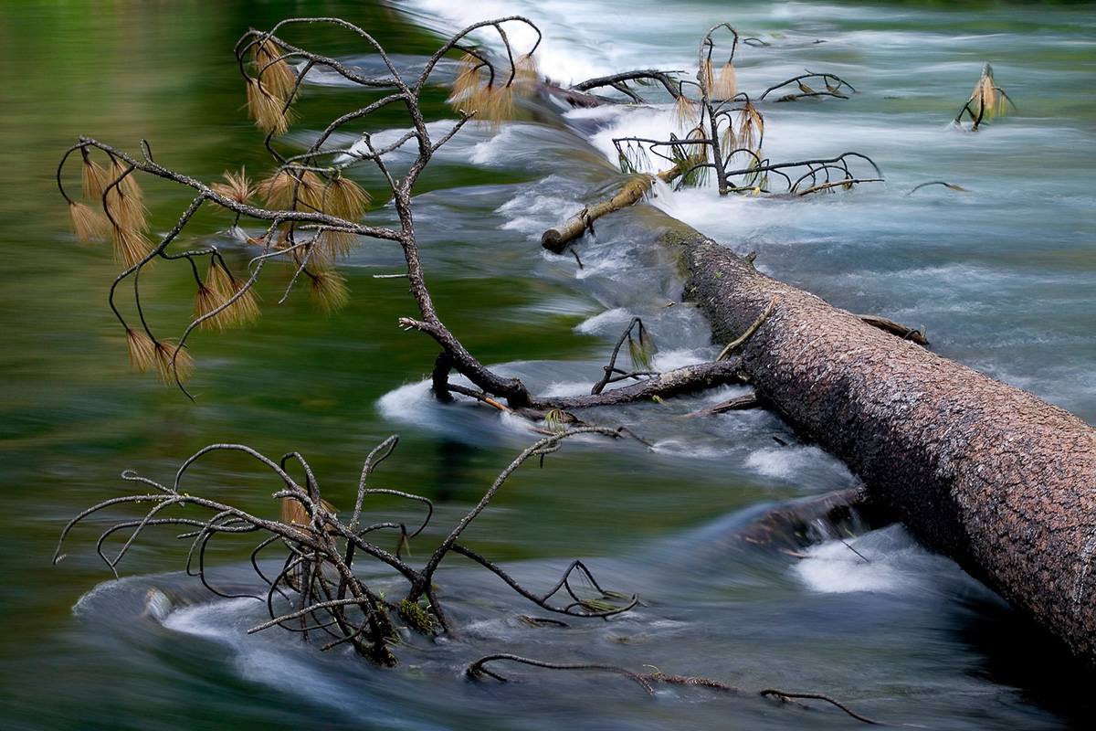 An art photograph of a Ponderosa pine in the Metolious river.
